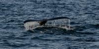 humpback- whale